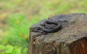 Змії в Карпатах