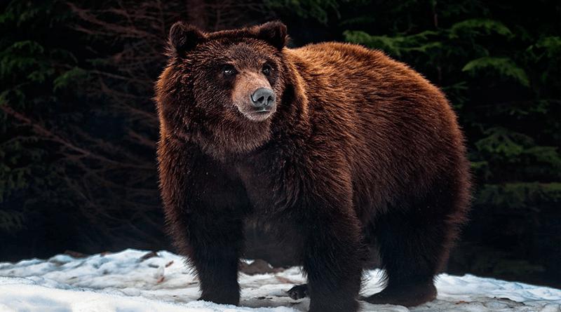 ведмеді в Карпатах